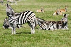 Grupo de zebras Fotos de Stock