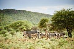 Grupo de zebras Fotografia de Stock