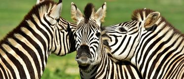 Grupo de zebras Imagem de Stock