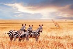 Grupo de zebras e de jiraffe selvagens no savana africano contra o por do sol bonito animais selvagens de África tanzânia imagens de stock royalty free