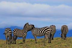 Grupo de zebras listradas que pastam o amanhecer fotos de stock