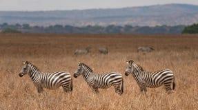 Grupo de zebras no parque nacional de Tarangire Fotografia de Stock