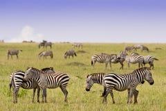 Grupo de zebras no savana Imagem de Stock Royalty Free