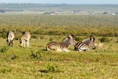 Grupo de zebras que encontram-se, quando o outro for estando e comendo a GR Fotos de Stock Royalty Free