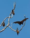 Grupo de zorros de vuelo Imagen de archivo