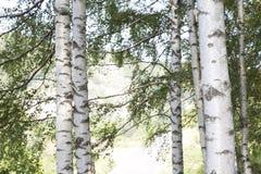 Grupo del árbol de abedul Imagen de archivo