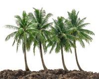 Grupo del árbol de coco Imagen de archivo libre de regalías