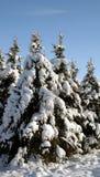 Grupo del árbol de hoja perenne Nevado Fotos de archivo libres de regalías