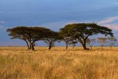 Grupo del árbol del acacia en la puesta del sol imagen de archivo