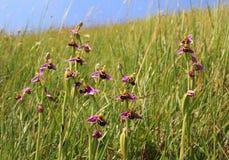 Grupo del apifera del ophrys de las orquídeas de abeja, wildflowers en el prado Fotos de archivo