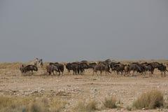 Grupo del búfalo del ñu que come en África fotos de archivo libres de regalías
