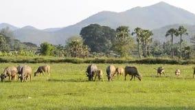 Grupo del búfalo de Asia en el campo del campo de Tailandia almacen de video