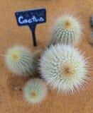 Grupo del cactus Fotografía de archivo