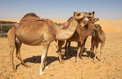 Grupo del camello Foto de archivo