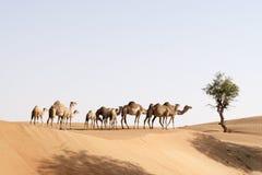Grupo del camello Fotos de archivo