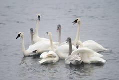 Grupo del cisne del trompetista Fotografía de archivo libre de regalías