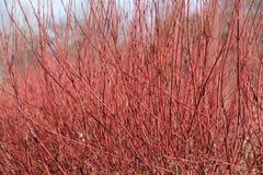 Grupo del cornejo de mimbre rojo en invierno Fotografía de archivo libre de regalías