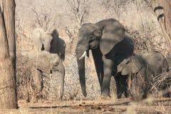 Grupo del elefante Foto de archivo