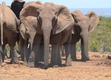 Grupo del elefante Fotografía de archivo