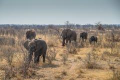 Grupo del elefante en el parque nacional Namibia de Etoshna Foto de archivo
