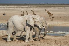 Grupo del elefante en el parque nacional Namibia de Etoshna Fotos de archivo libres de regalías