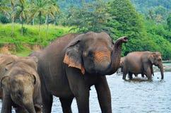 Grupo del elefante en el río Imágenes de archivo libres de regalías