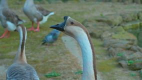 Grupo del ganso del cisne