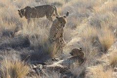 Grupo del guepardo Fotografía de archivo
