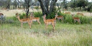 Grupo del impala Fotografía de archivo libre de regalías