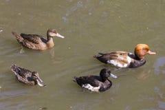 Grupo del pato Foto de archivo