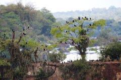 Grupo do abutre preto em quedas de Iuazzu Fotos de Stock Royalty Free