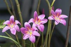 Grupo do autumnale do Colchicum em Jae'n fotografia de stock royalty free