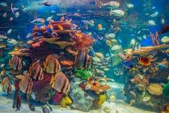 Grupo do banco de areia de muitos peixes tropicais amarelos vermelhos na água azul com recife de corais, mundo subaquático colori Fotos de Stock Royalty Free