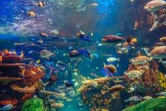 Grupo do banco de areia de muitos peixes tropicais amarelos vermelhos na água azul com recife de corais, mundo subaquático colori Foto de Stock