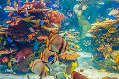 Grupo do banco de areia de muitos peixes tropicais amarelos vermelhos na água azul com recife de corais, mundo subaquático colori Imagens de Stock Royalty Free