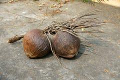 Grupo do coco maduro com haste Imagens de Stock