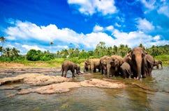 Grupo do elefante no rio Imagens de Stock Royalty Free