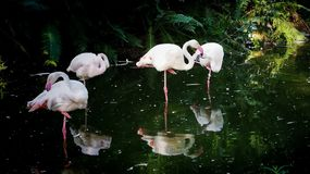 Grupo do flamingo foto de stock royalty free