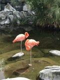 Grupo do flamingo no jardim zool?gico fotografia de stock