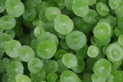Grupo do fundo do verde de Pennywort da água Fotografia de Stock Royalty Free