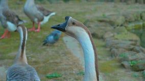 Grupo do ganso da cisne video estoque