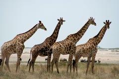 Grupo do Giraffe Fotografia de Stock