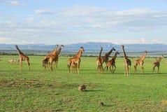 Grupo do Giraffe Imagens de Stock Royalty Free