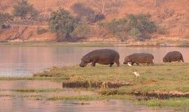 Grupo do hipopótamo fotos de stock royalty free