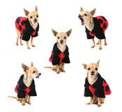 Grupo do Ladybug Imagens de Stock Royalty Free