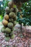 Grupo do longkong na árvore Imagens de Stock Royalty Free