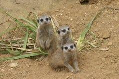 grupo do meerkat curioso Fotografia de Stock