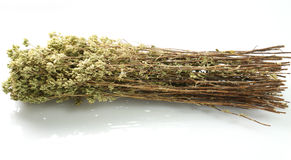 Grupo do oregano fresco Foto de Stock Royalty Free