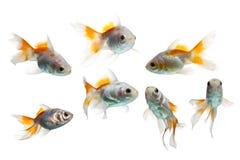 Grupo do peixe dourado isolado no branco Fotografia de Stock