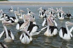 Grupo do pelicano Imagem de Stock